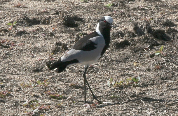 Vanellus armatus - The Blacksmith Lapwing