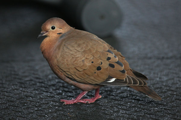 Zenaida aurita - The Zenaida Dove