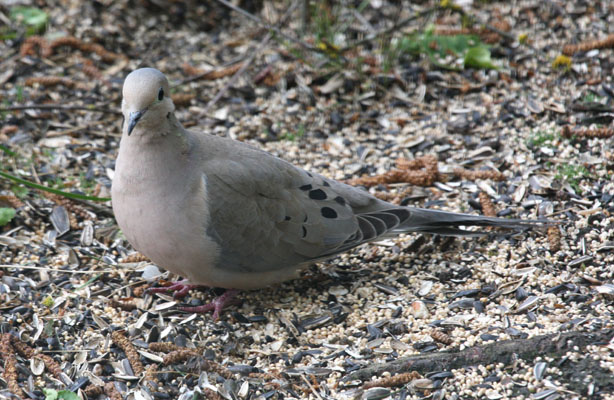 Zenaida macroura marginella - The Mourning Dove