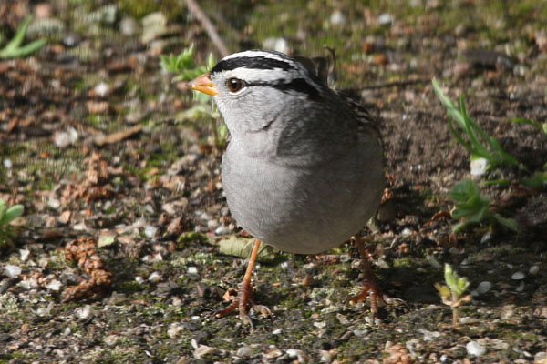 Zonotrichia leucophrys - The White-crowned Sparrow
