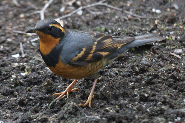 Zoothera naevia - The Varied Thrush