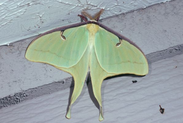 Actias luna - The Luna Moth
