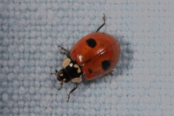 Adalia bipunctata - The Two-spotted Lady Beetle