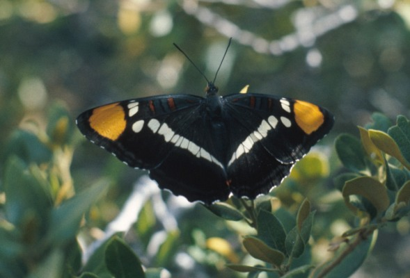 Adelpha bredowii californica (The California Sister)