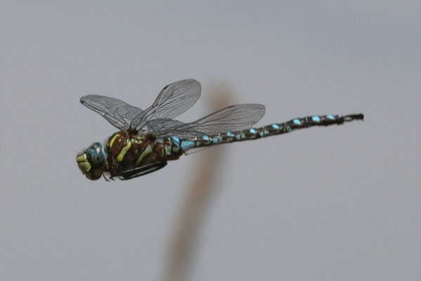 Aeshan palmata - The Paddle-tailed Darner
