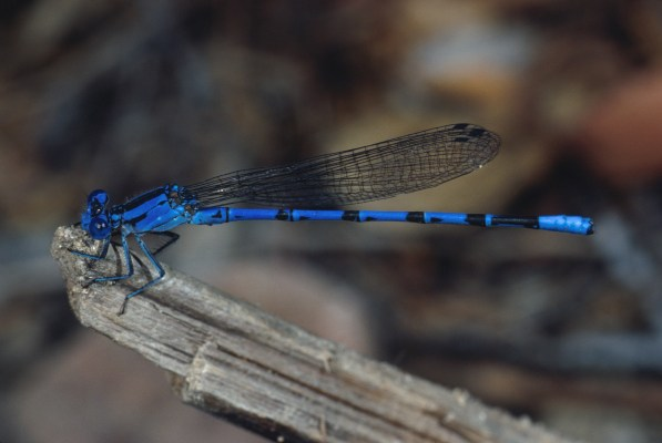 Argia vivida - The Vivid Dancer, a damselfly