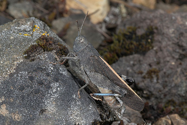 Arphia conspersa - The Speckle-winged Grasshopper