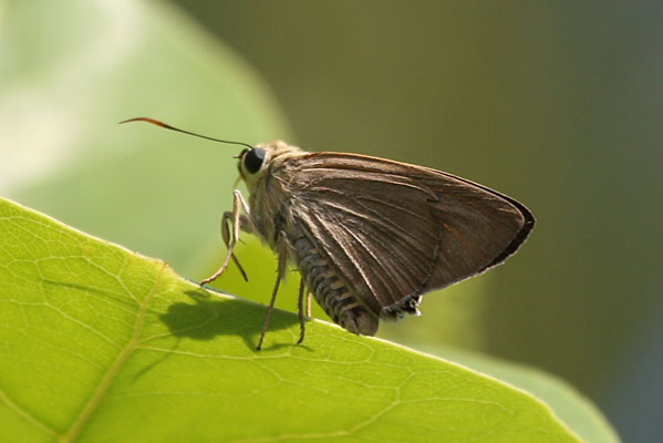Badamia exclamationis - The Narrow-winged Awl