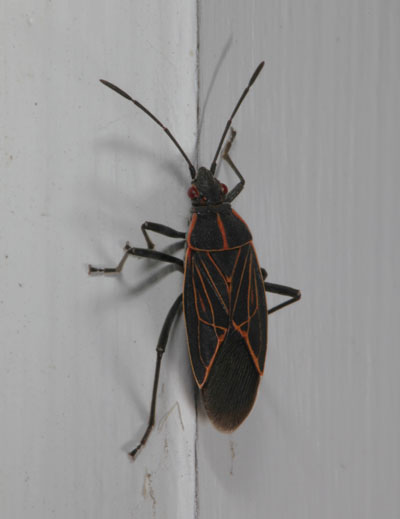 Boisea rubrolineatus - The Western Box Elder Bug
