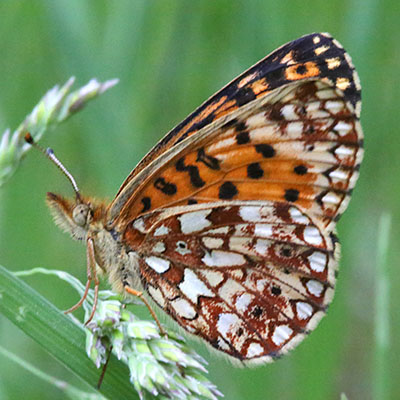 Boloria selene nr. tollandensis - The Silver-bordered Fritillary