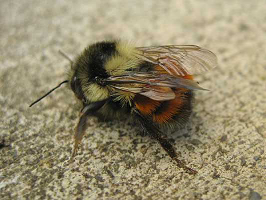 Bombus melanopygus - The Orange-rumped Bumble Bee