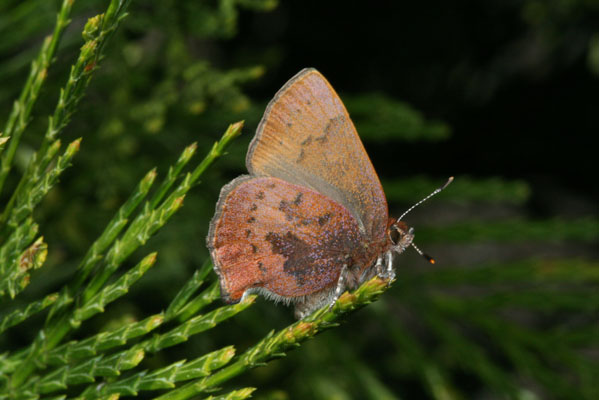 Callophrys augustinus iroides - The Brown Elfin