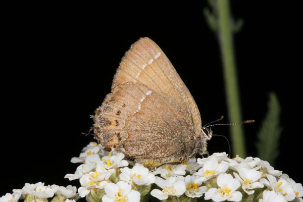 Callophrys gryneus nelsoni - The Cedar Hairstreak