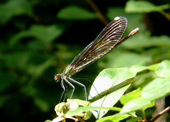 Calopteryx aequabilis - The River Jewelwing