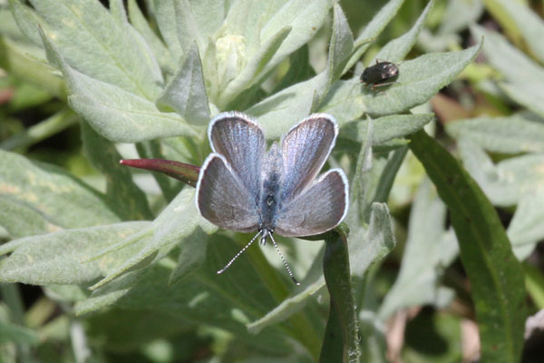 Celestrina e. echo - The Spring Azure