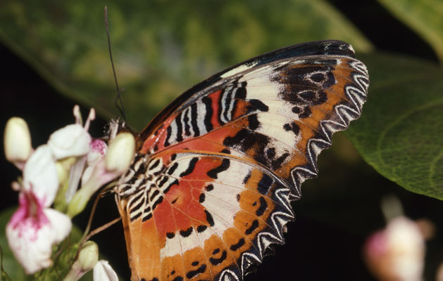 Cethosia biblis - The Red Lacewing