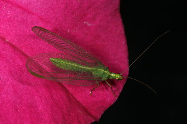 Chrysoperla carnea - The Common Green Lacewing