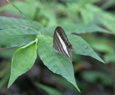 Cissia metaleuca - The One-banded Satyr