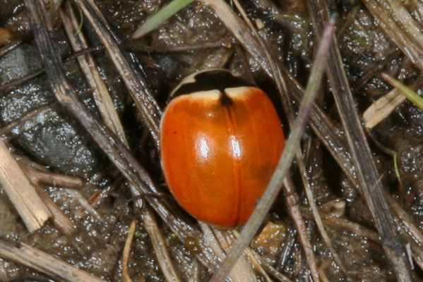 Coccinella novemnotata - The Nine-spotted Ladybird Beetle, spotless form
