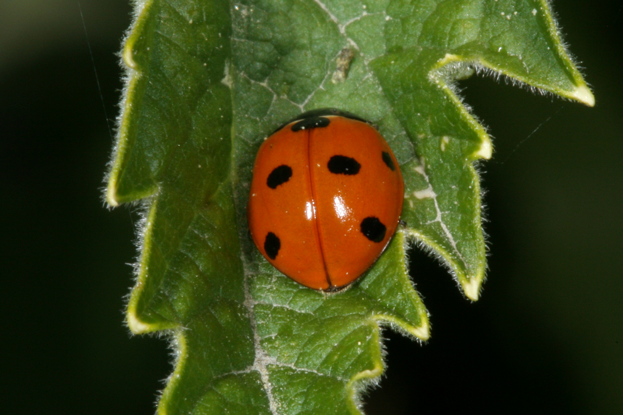 Ladybird Insect Information >> Coccinella Related Keywords - Coccinella Long Tail Keywords KeywordsKing