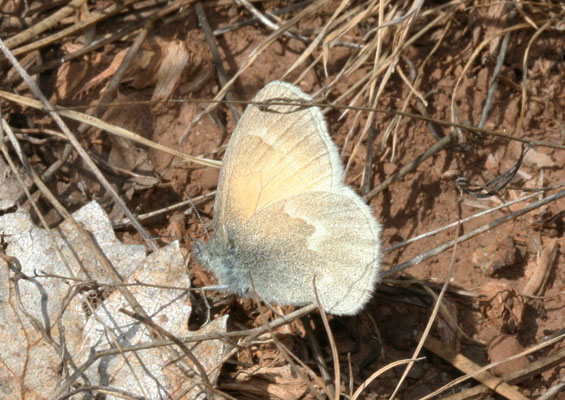 Coenonympha tullia eryngii - The Common Ochre Ringlet