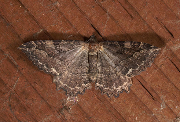 Coryphista meadii - The Barberry Geometer