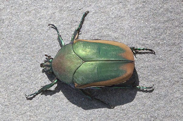 Cotinis mutabilis - The Figeater Beetle