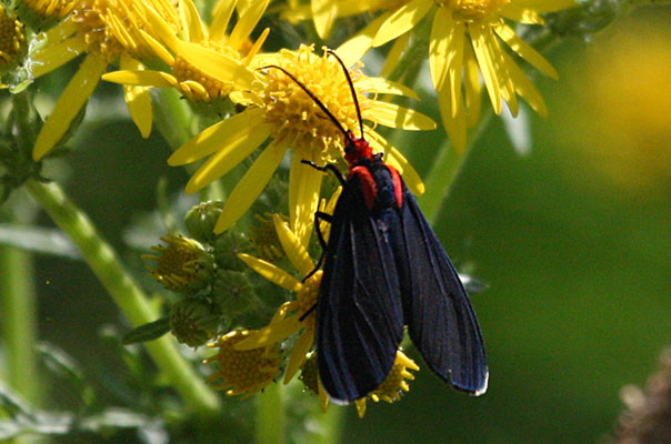 <I>Ctenucha rubroscapus</I> - The Red-shouldered Ctenucha