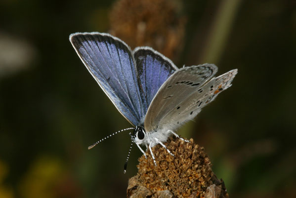 Cupido comyntas sissona - The Eastern Tailed Blue
