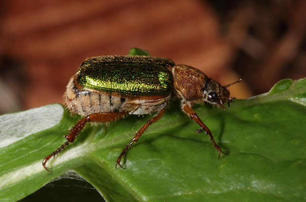 Dichelonyx backi - The Green Rose Chafer
