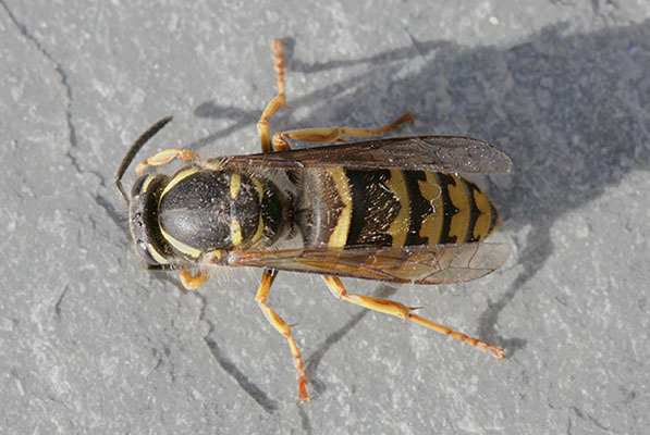 Dolichovespula arenaria - The Common Aerial Yellowjacket
