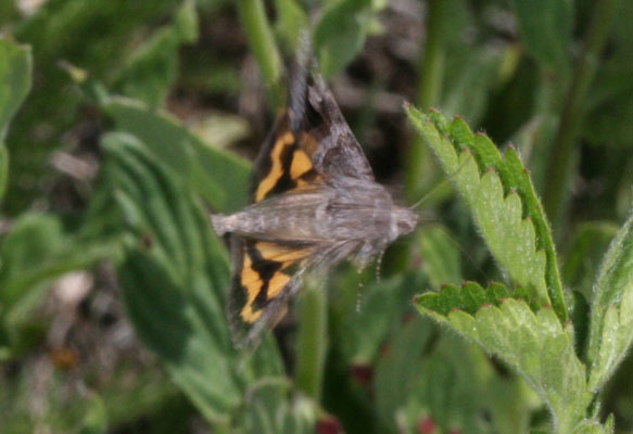 Drasteria adumbrata - The Shadowy Arches Moth