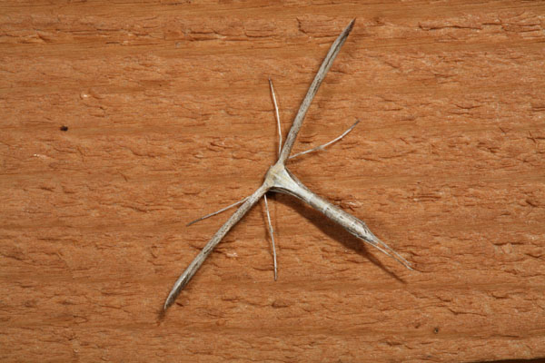 Emmelina monodactyla - The Morning-glory Plume Moth