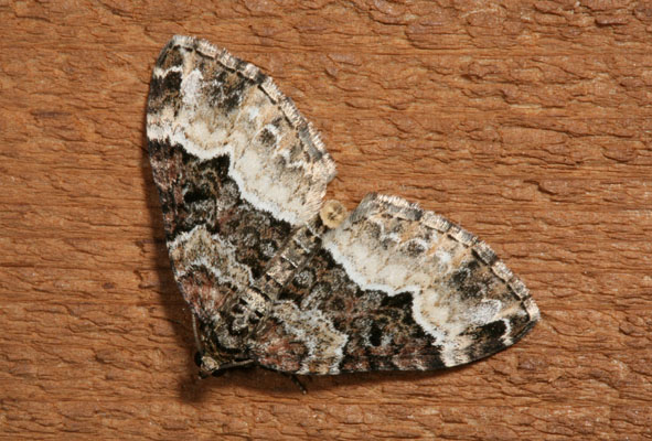 Epirrhoe alternaa - The White-banded Toothed Carpet Moth