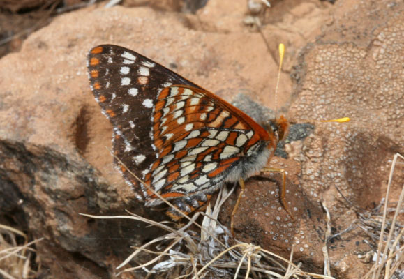 Euphydryas chalcedona macglashanii - The Chalcedona Checkerspot or Variable Checkerspot