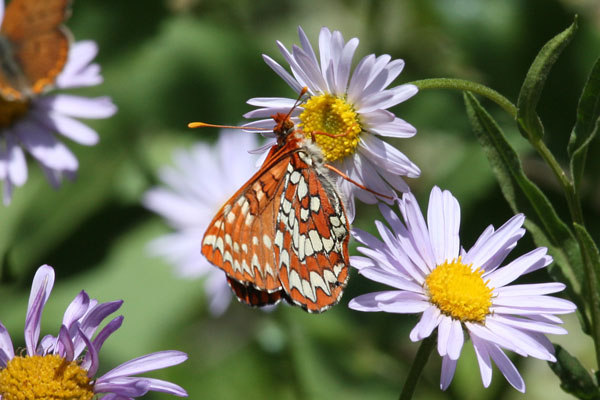 Euphydryas chalcedona colon - The Chalcedona Checkerspot or Variable Checkerspot