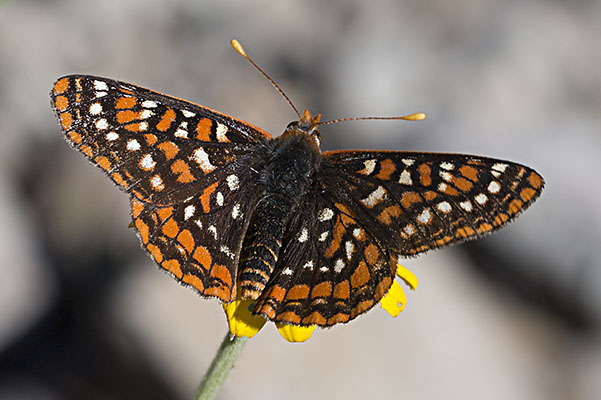 Euphydryas editha colonia - Edith's Checkerspot