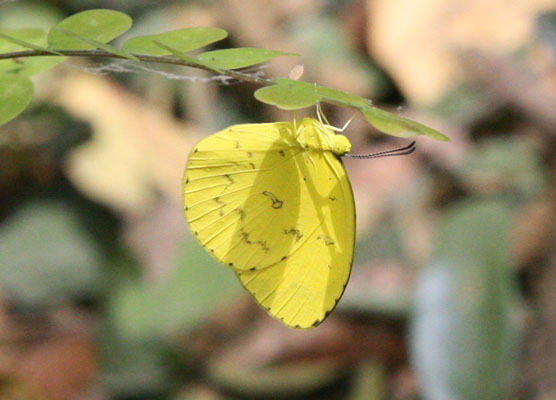 Eurema hecabe solifera - The Comon Grass Yellow