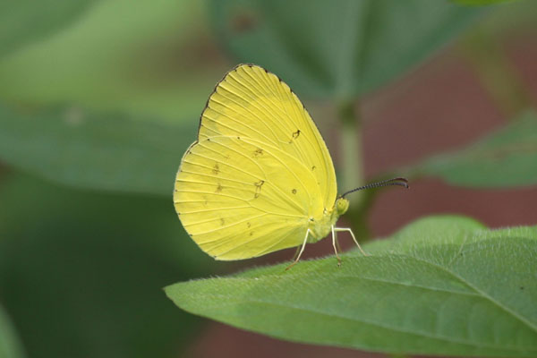 Eurema hecabe sulphurata - The Large Grass Yellow