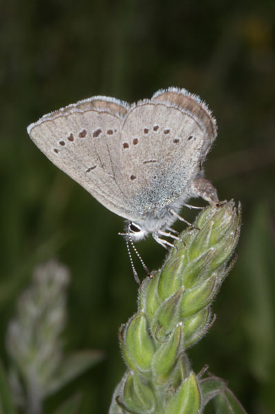 Glaucopsyche lygdamus columbia - The Silvery Blue