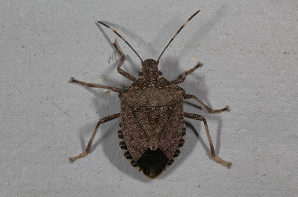 Halyomorpha halys - The Brown Marmorated Stink Bug