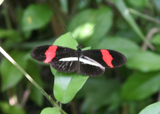 Heliconius erato petiverana, The Crimson-patched Longwing