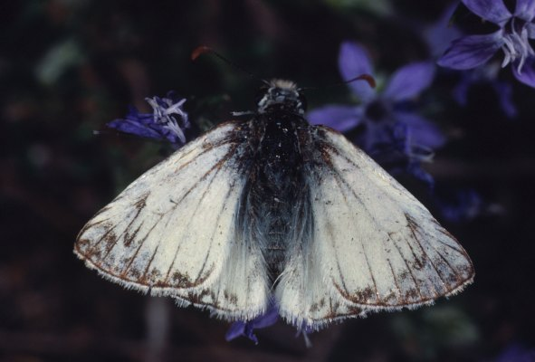 Heliopetes ericetorum - The Northern White-Skipper