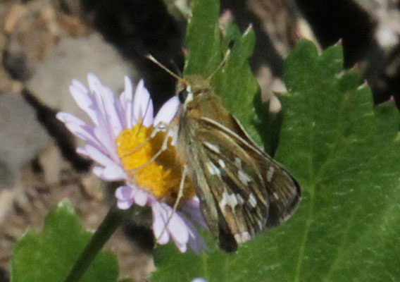 Hesperia juba - The Juba Skipper