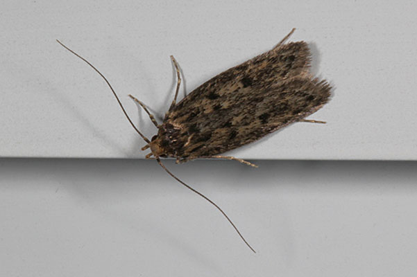 Hofmannophila pseudospretella - The Brown House Moth