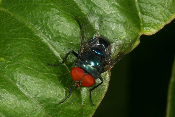 Unidentified Blow-fly