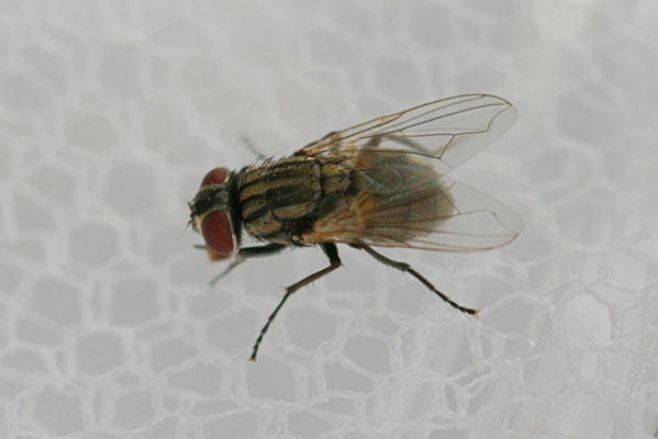 Unknown Flesh Fly