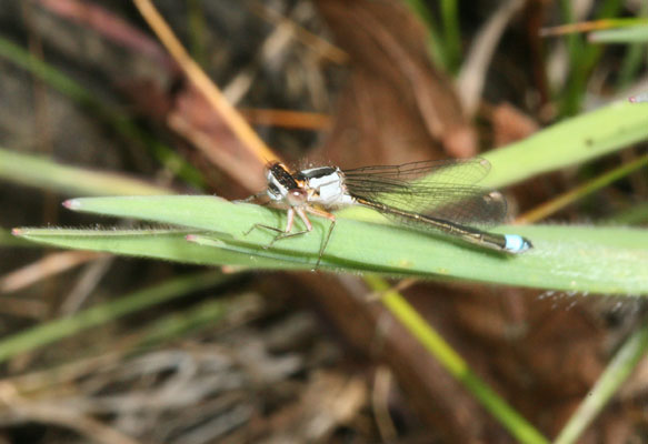 Ischnura cervula - The Pacific Forktail