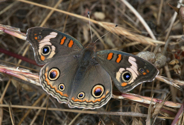 Junonia coenia grisea - The Common Buckeye