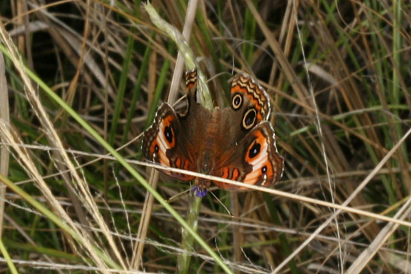Junonia genoveva - The Tropical Buckeye